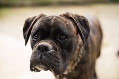 Boxeur de chien Photos stock