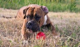 Boxeur de race de chien avec la boule rouge Photographie stock libre de droits