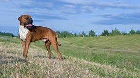 Boxeur de race de chien Images libres de droits
