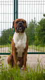 Boxeur de race de chien Photo libre de droits