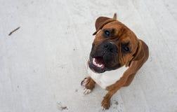 Boxeur de race de chien Photographie stock libre de droits
