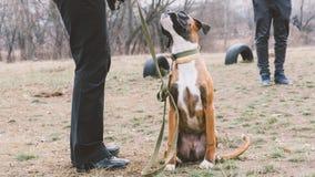 Boxeur de race de chien de formation Formation de chien dans la ville Plan rapproché Photo stock