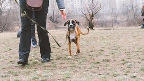 Boxeur de race de chien de formation Formation de chien dans la ville Plan rapproché Image libre de droits