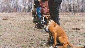 Boxeur de race de chien de formation Formation de chien dans la ville Plan rapproché Photos libres de droits