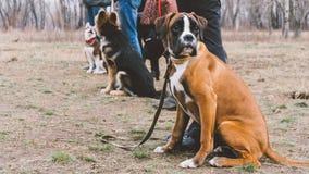 Boxeur de race de chien de formation Formation de chien dans la ville Plan rapproché Photographie stock libre de droits