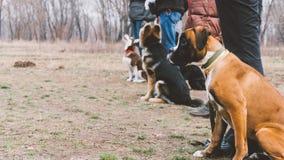 Boxeur de race de chien de formation Formation de chien dans la ville Plan rapproché Photo libre de droits