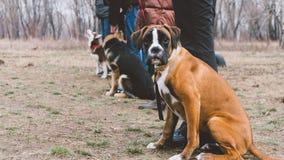 Boxeur de race de chien de formation Formation de chien dans la ville Plan rapproché Photos stock