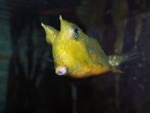 Boxfish à cornes Images libres de droits