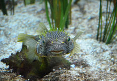 Boxfish épineux étonnant avec les yeux verts brillants Photos stock