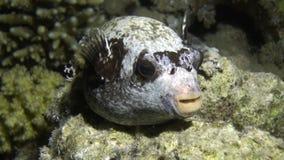 Boxfish στο υπόβαθρο του υποβρύχιου αμμώδους κατώτατου σημείου στη Ερυθρά Θάλασσα απόθεμα βίντεο