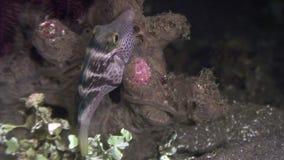 Boxfish των μεγάλων θαλασσίων βαθών σε αναζήτηση των τροφίμων στον ωκεανό των Φιλιππινών απόθεμα βίντεο