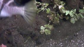 Boxfish των μεγάλων θαλασσίων βαθών σε αναζήτηση των τροφίμων υποβρύχιων στον ωκεανό των Φιλιππινών φιλμ μικρού μήκους