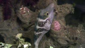 Boxfish των μεγάλων θαλασσίων βαθών υποβρύχιων στον ωκεανό των Φιλιππινών φιλμ μικρού μήκους