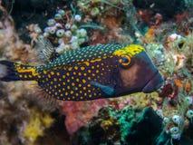 Boxfish запятнанный мужчиной стоковое изображение rf