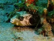 Boxfish Fotografering för Bildbyråer