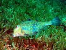 Boxfish Royalty Free Stock Image