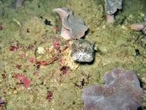 Boxfish Royalty Free Stock Photos