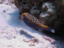 Boxfish Obrazy Stock