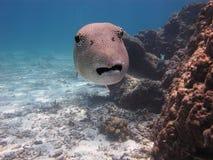 Boxfish stockfotografie