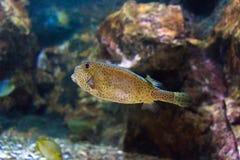 Boxfish Zdjęcie Stock
