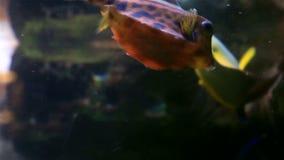 Boxfish stock footage