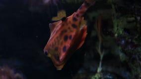 Boxfish stock video footage
