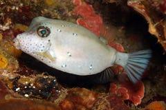 Free Boxfish Stock Image - 7119011