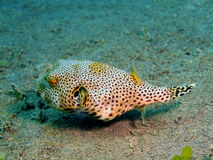 Boxfish Photo libre de droits
