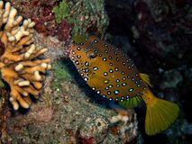 Boxfish Arkivfoto