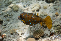 Boxfish amarelo Imagens de Stock