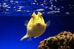 Boxfish amarillo Fotografía de archivo libre de regalías