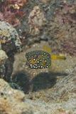 Boxfish amarillo juvenil (cubicus de Ostracion). Fotografía de archivo libre de regalías