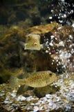 Boxfish. In aquarium Royalty Free Stock Image