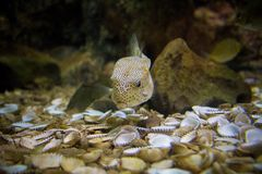 Boxfish. In aquarium Royalty Free Stock Photos