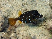 Boxfish de cube Photos libres de droits