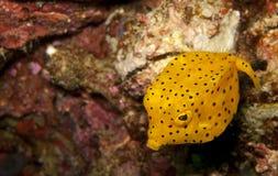 Boxfish del amarillo de Juv Imagen de archivo libre de regalías