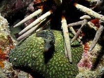 Boxfish en un coral en Indonesia fotografía de archivo
