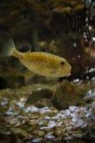 Boxfish. Fish in aquarium Royalty Free Stock Images