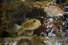 Boxfish. Fish in aquarium Stock Photos