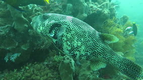 Boxfish floating in the depths of the ocean near the island of Bali stock video
