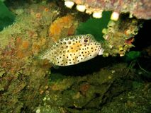 Boxfish Hiding Stock Photo