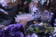 Boxfish i błazen łowimy w akwarium, sealife Fotografia Royalty Free