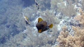 Boxfish jaune Images libres de droits