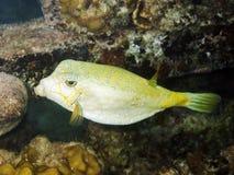 Boxfish jaune photographie stock libre de droits