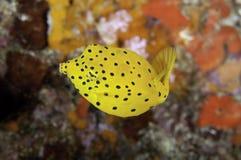 Boxfish juvenil Fotos de Stock Royalty Free