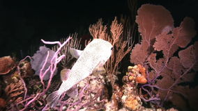 Boxfish night on the reef in light of a flashlight. In Bahamas. Amazing, beautiful underwater world Bahamas and the life of its inhabitants, creatures and stock video footage