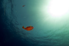 Boxfish, ocean and sun in the Red Sea. Stock Images
