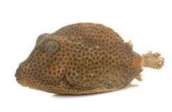 Boxfish in studio Stock Images