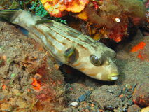 Boxfish Royalty Free Stock Photography