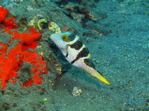 Boxfish Royalty Free Stock Photo